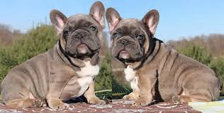 sold blue french bulldog puppies ready now 2 blue fems sired by the one only world famous akc ofa health certified once in a blue moon