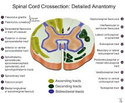 Spinal Cord Cross Section Diagram Spinal Cord Cross Section