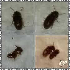 Brown And Black Bugs In House A Better Picture Of Those Bugs I Spray Them  And