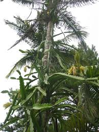 Green Dragon Fruit On A Tree In Farm Of Thailand Stock Photography Dragon Fruit On Tree