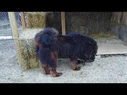 Tibetan Mastiff Puppy Price In India Best Price