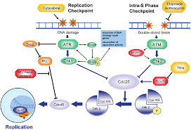 Dna Replication During S Phase Therapeutic Target And Source Of