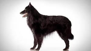 belgian sheepdog belgian sheepdog