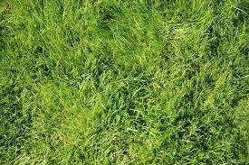wild grass texture. Grass Wild Texture