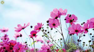 high resolution flower hd 1080p
