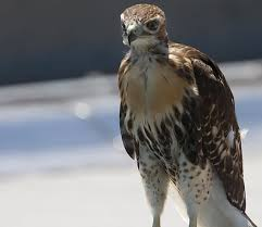 hawk without feathers.  Feathers STARE DOWN The Family Of Redtailed Hawks Near Fordham University Are  Among Hundreds In Hawk Without Feathers P