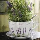Посадить лаванду из семян в домашних условиях