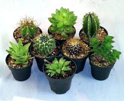 order plants online. Cactus Succulent Collection 8 Different Plants Order Online Buy India . Uk Homeopathic
