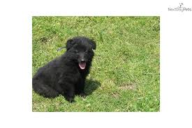 belgian home dog breeds belgian shepherd dog groenendael tervuren