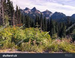 Alpine Park Alpine Trees Mountains Mount Rainier National Stock Photo