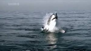 great white shark jumping gif. Great White Sharks Jumping Out Of The Water To Catch Seals HD Throughout Shark Gif