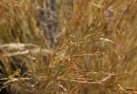 Aegilops speltoides | plant | Britannica.com