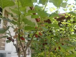 White Mulberry Morus Alba U0027Pendulau0027Teas Weeping Fruiting Mulberry Tree