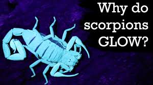 Why Do Scorpions Glow Under Uv Light Why Do Scorpions Glow Under Blacklight