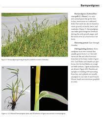 New Nebraska Resource On Identifying Grass Weeds In Crops