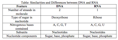 Similarities And Differences Between Mrna And Trna Chart 3 5 7 3 7 4 Protein Synthesis Lynnas Blog