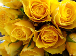 awesome natural yellow rose background
