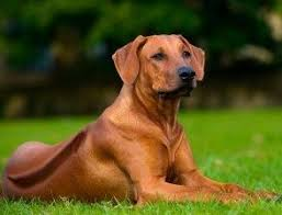 most beautiful dog breeds in the world. Perfect The The Rhodesian Ridgeback Is A Dog Breed Developed In Rhodesia Now Zimbabwe  Its European Forebears Can Be Traced To The Early Pioneers Of Cape Colony  On Most Beautiful Dog Breeds In World I