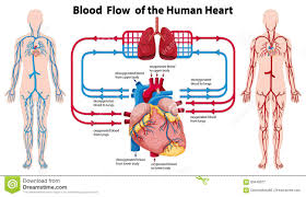 Human Blood Flow Chart Diagram Showing Blood Flow Of The Human Heart Stock Vector