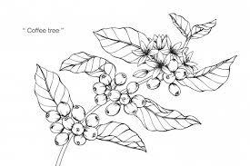 coffee plant illustration vector. Interesting Coffee Coffee Tree Flower Drawing Illustration Premium Vector In Plant Illustration E