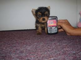 toy yorkshire terrier pups very tiny