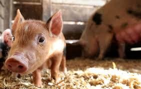 farrowing chart pig gestation calculator pig pregnancy calculator