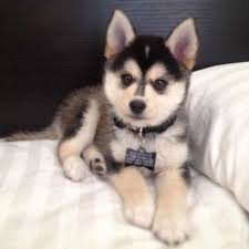pomeranian husky full grown. Perfect Pomeranian Dog Cute And Puppy Image Intended Pomeranian Husky Full Grown S