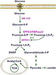 Major Steps Of Glycolysis Glycolysis Is The Pathway For The