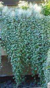 dichondra silver falls grows in hanging baskets or spread by runners dichondra is a prostrate plant