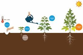 Cannabis Plant Growth Chart How To Grow Your Own Marijuana In Toronto Now Magazine