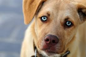 enucleation due to eye trauma or disease in dogs