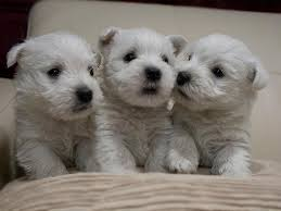 white terrier mix puppies.  Mix Westiepoo West Highland White TerrierPoodle Mix Info Puppies Pictures And Terrier Mix Puppies A