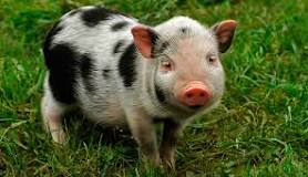 Image result for Micro Pigs For Sale