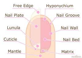 Nail Structure Nailbees