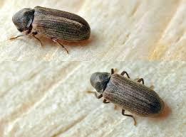 carpet beetle. could it be carpet beetles? beetle