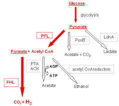 fermentation equation. the scheme of mixed-acid fermentation (escherichia coli-type). pathway equation