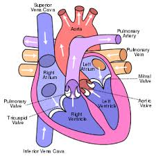 heart simple english the encyclopedia heart structure arrows show the direction of blood flow