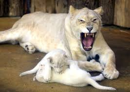newborn white lion cubs. Brilliant Newborn For Newborn White Lion Cubs E