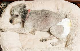 old grey dog lying in a dog bed wearing a doggy diaper