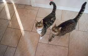 猫 しっぽ 立てる