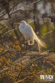 Great egret (Casmerodius albus, Ardea alba, Egretta alba), Smith Oaks  Audubon Rookery, High Island, Stock Photo, Picture And Rights Managed  Image. Pic. K29-3100054 | agefotostock