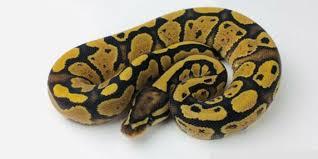 Royal Python Facts Full Care Guide Reptilekingdoms