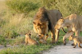 the lions and the fox africa geographic