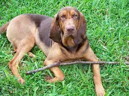 รูปภาพ : ลูกสุนัข, สัตว์เลี้ยงลูกด้วยนม, สัตว์มีกระดูกสันหลัง, หล่อ,  กรรเชียง, สายพันธุ์สุนัข, Vizsla, ตับ, หมาล่าเนื้อ,  สุนัขชอบเลี้ยงลูกด้วยนม, carnivoran, หมาล่าสีดำและสีน้ำตาลชาวออสเตรีย,  สุนัขล่าสัตว์โปแลนด์, ศิลปะเบส, redbone coonhound, หมาภูเขา ...