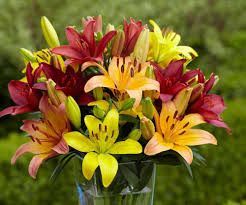asiatic lilies bloom in early summer they have upward or outward facing flowers in a rainbow of colors from white through yellow peach orange pink