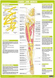 Lower Limb Nerve Anatomy Chart Anterior Nerve Anatomy