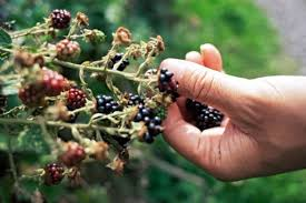 blackberry picking memories of past events provide us a wide range of thoughts feelings and emotions childhood memories often open a window to laugh cry and reminisce