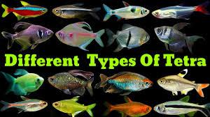 Different Types Of Tetra Fish | Tetra Fish Varieties - YouTube