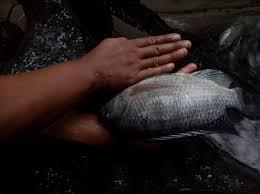 Umpan Ikan Gurame Malam Hari