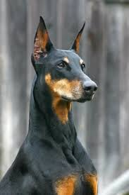 most beautiful dog breeds in the world. Unique The 10 Most Beautiful Dog Breeds In The World  Dogs Pinterest Dogs  Doberman And Pinscher For In The E